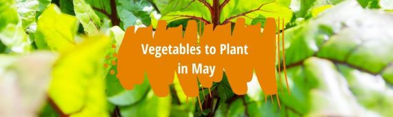 Vegetables to plant in May fi
