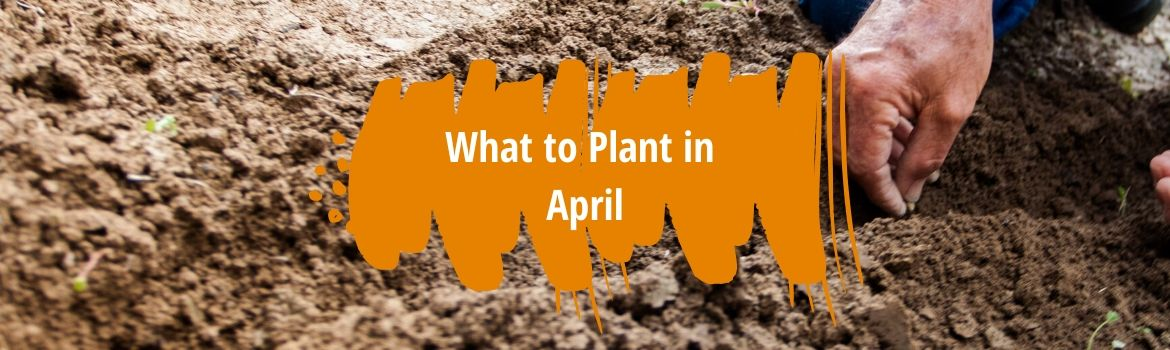 What to plant in April fi