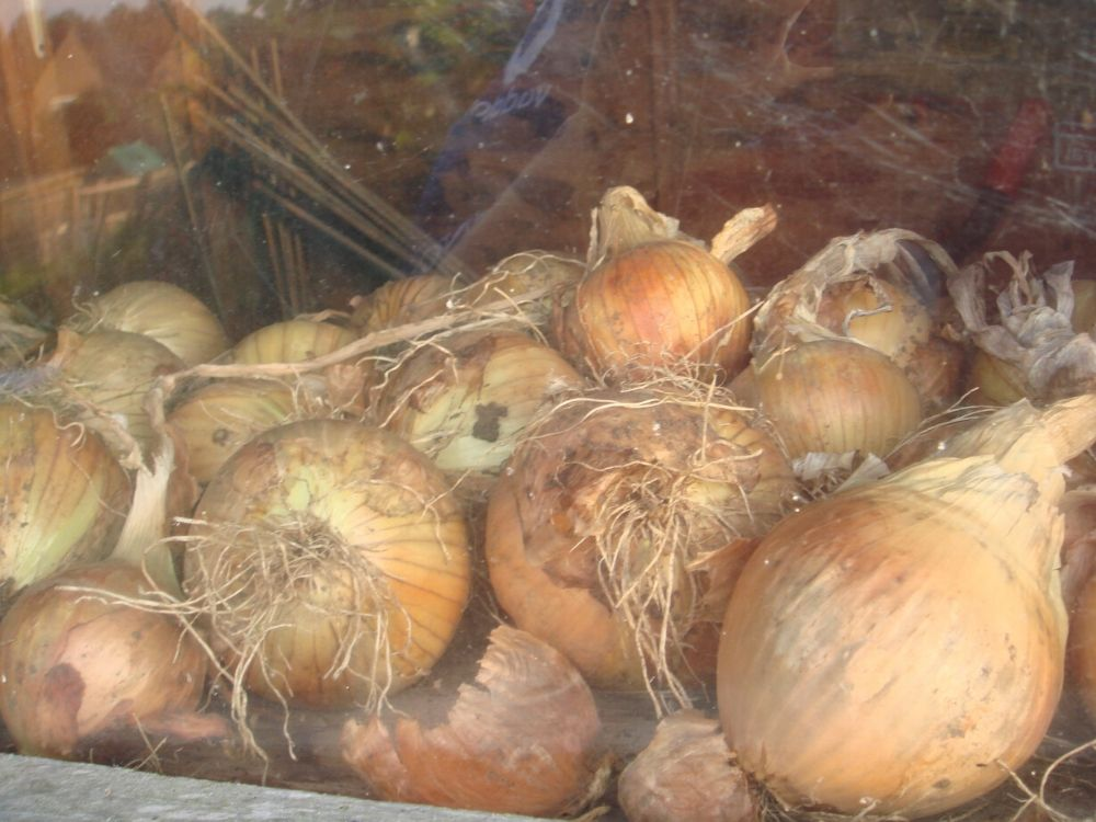 easy vegetables to grow uk onions