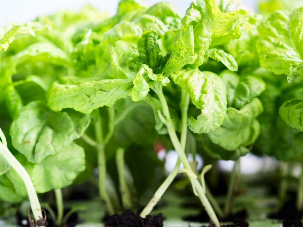 vegetables and herbs to plant in may basil