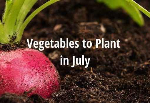 What vegetables to plant in july