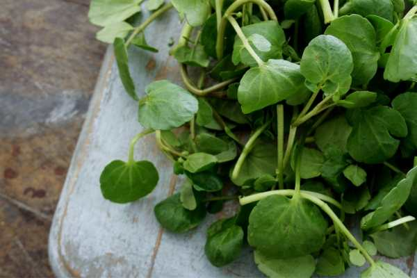 grow watercress as a perennial