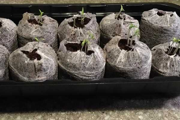 Nurture small tomato seedlings