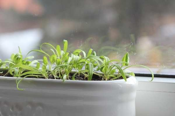 fast growing vegetable in container spinach