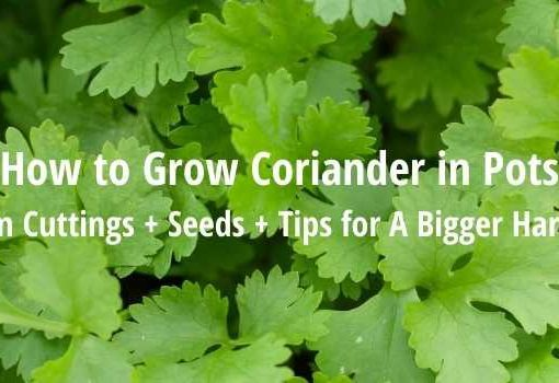 grow coriander in pots