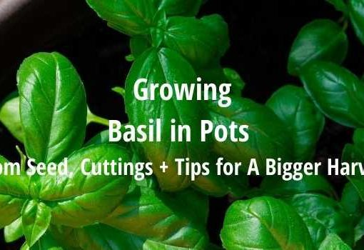 growing basil in pots