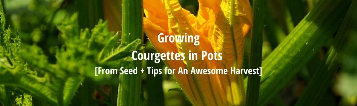 growing courgettes in pots