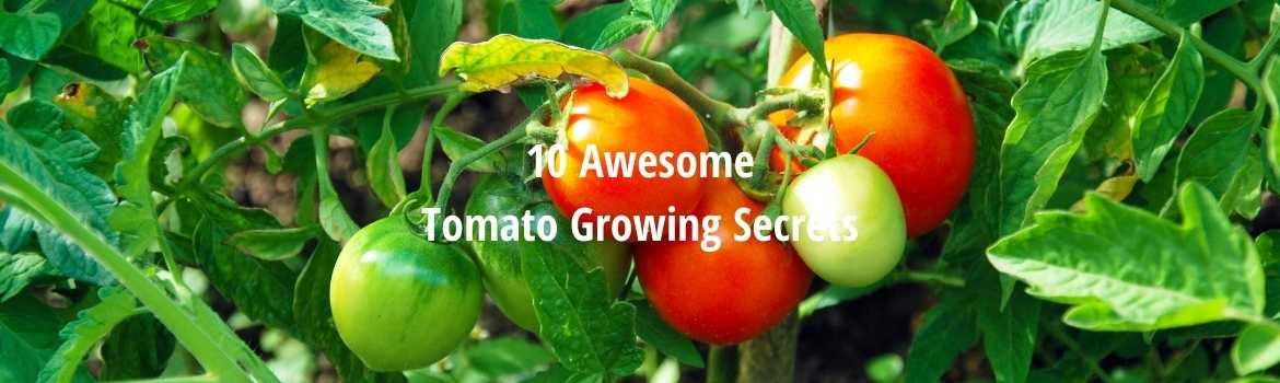 tomato growing secrets
