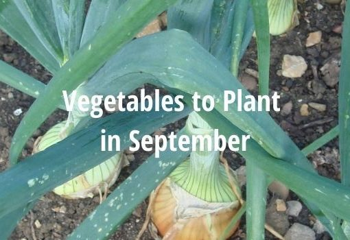 veg to plant in September