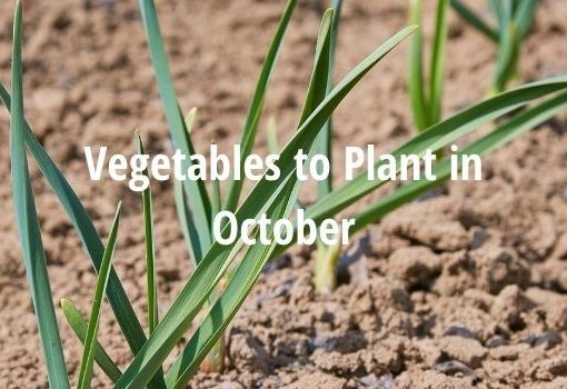 what vegetables to grow in october